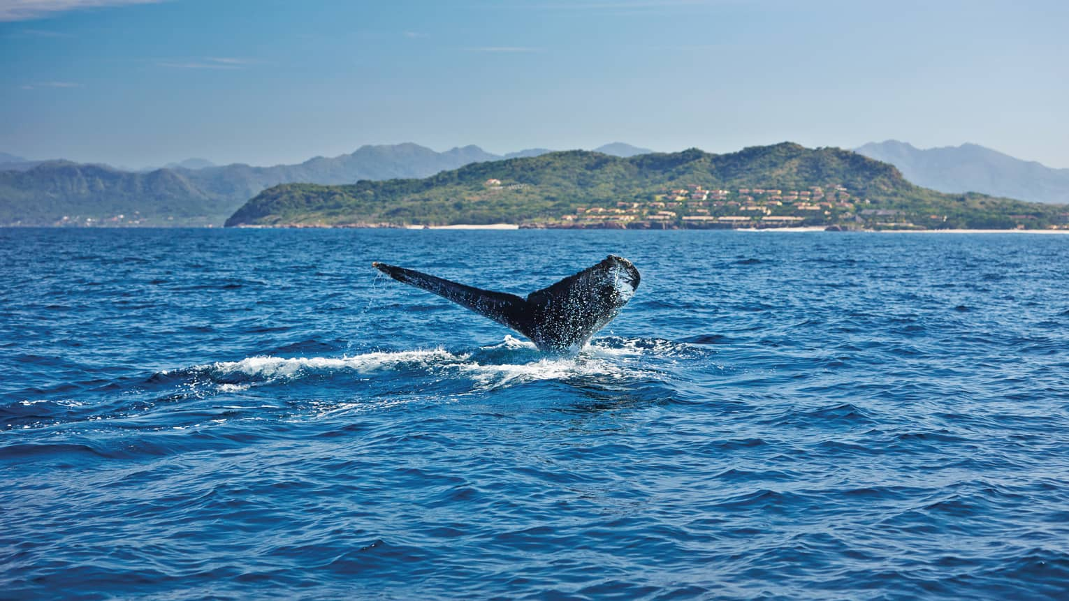 Humpback whale's tail cuts through water on ocean, green shores in background