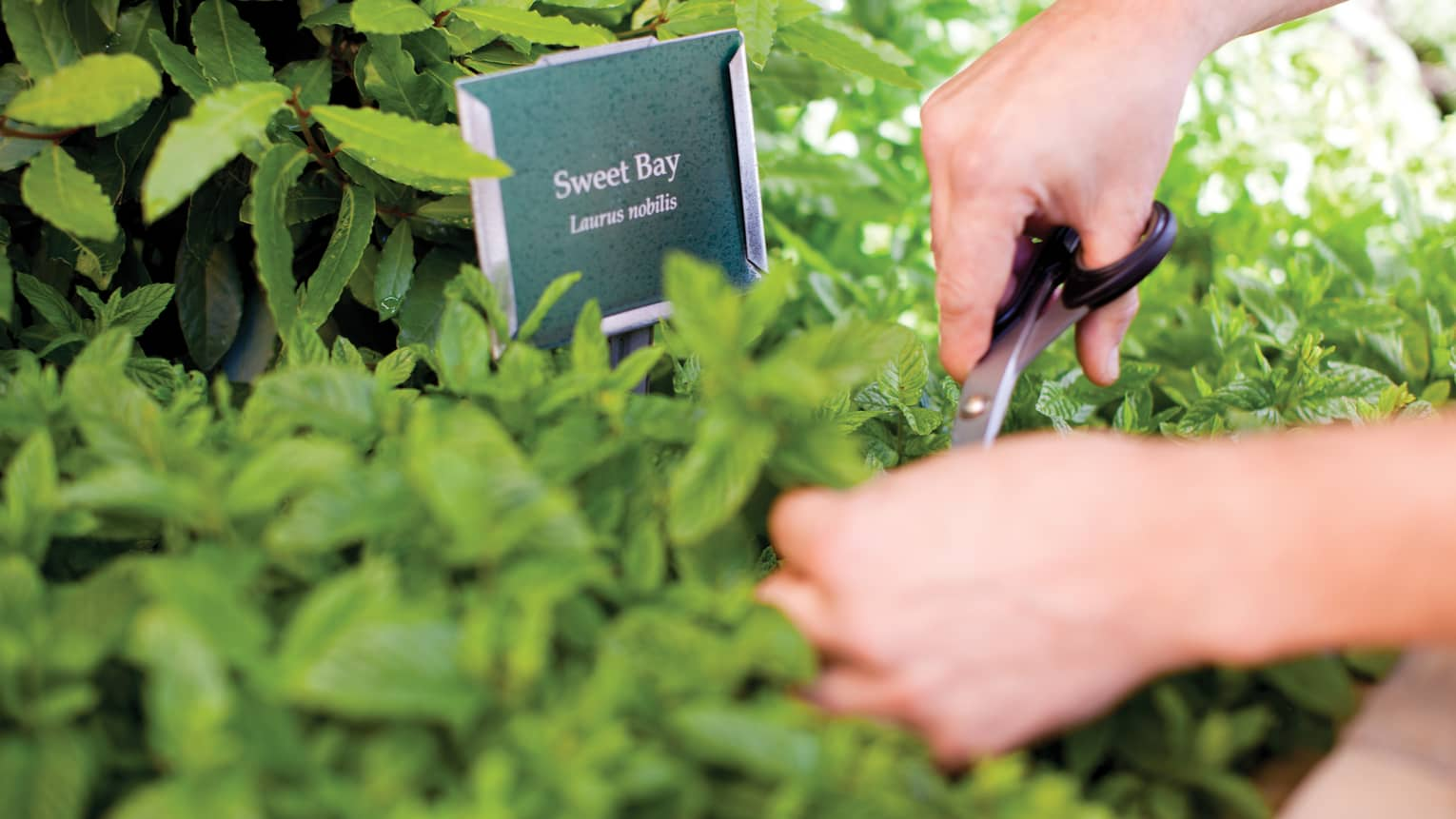 Close-up of hands clipping green herbs with scissors in garden