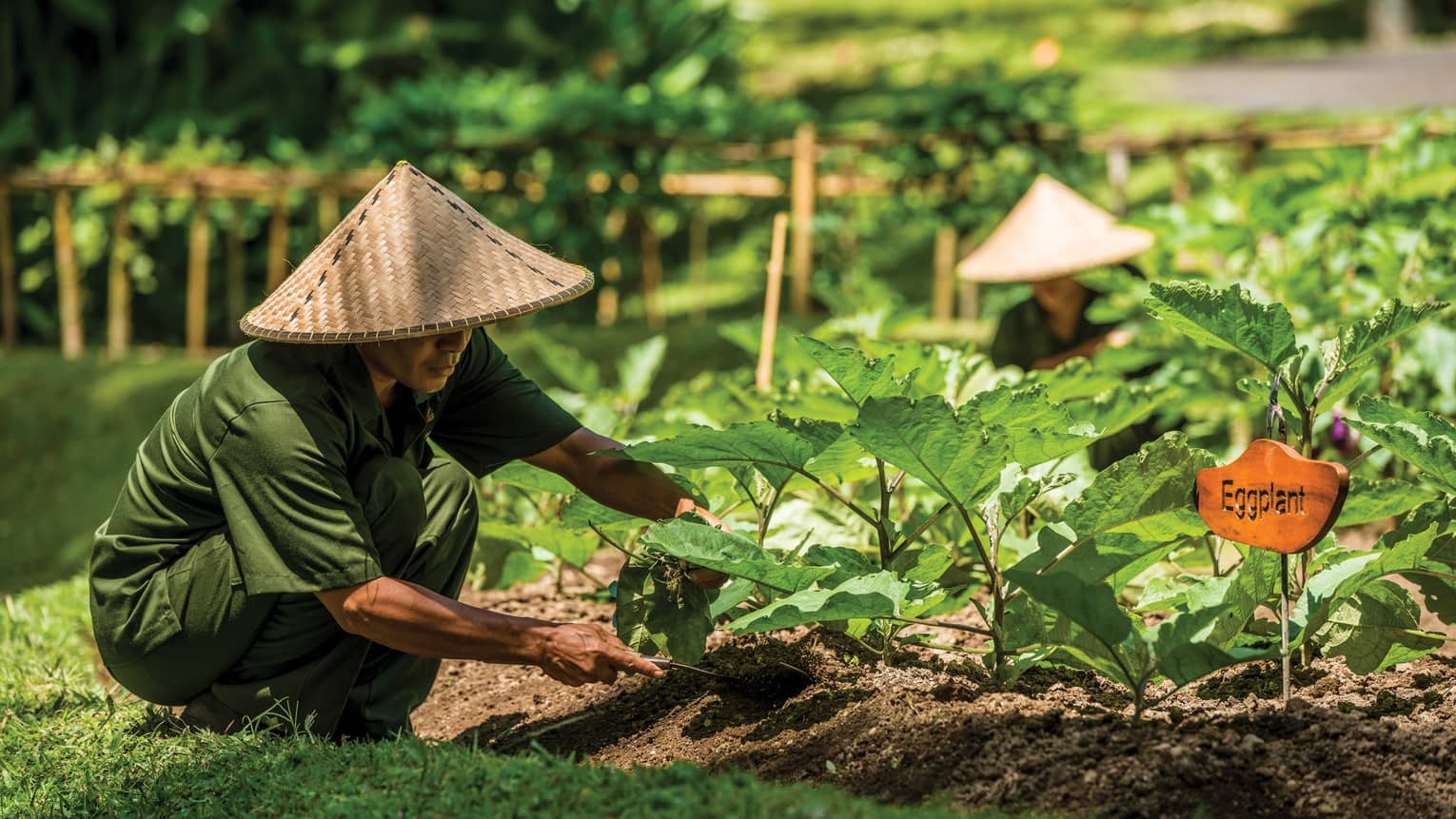 Man in straw farmers hat and casual green uniform kneels over vegetable garden, digs soil under eggplant