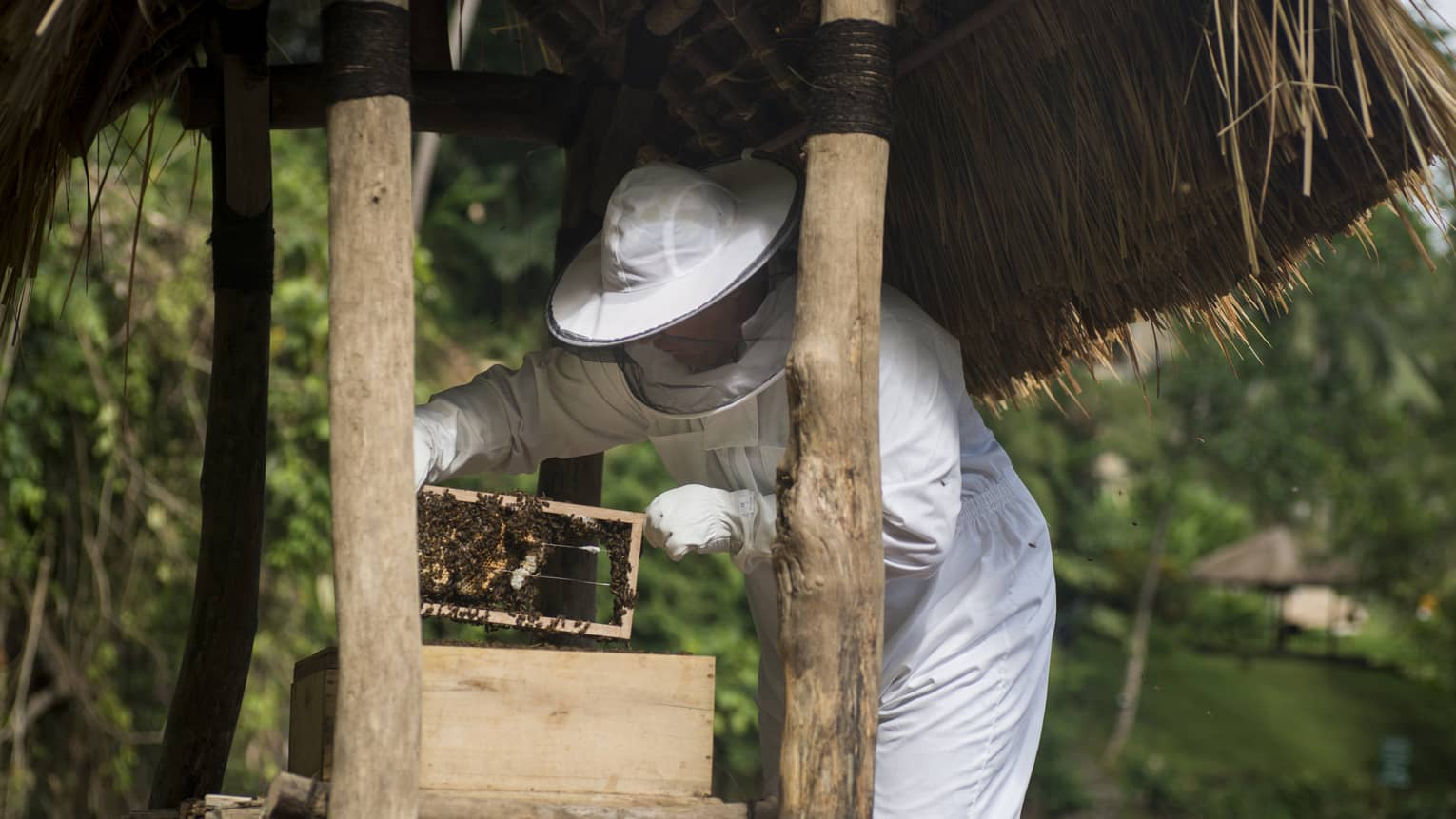 Beekeeper in white hat with net, suit and gloves holds wood box covered with bees between under small thatched-roof hut