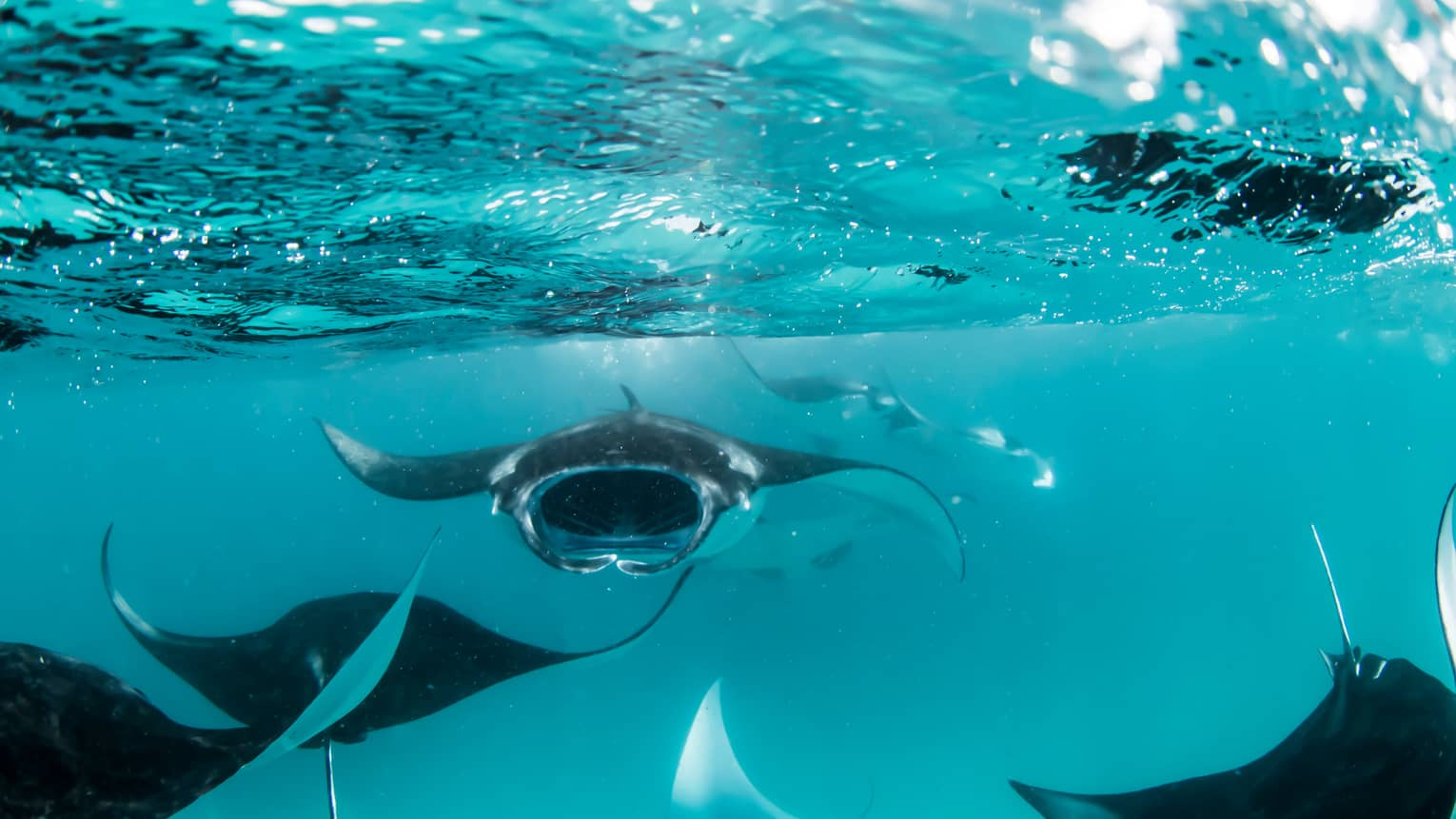 Manta rays swimming underwater