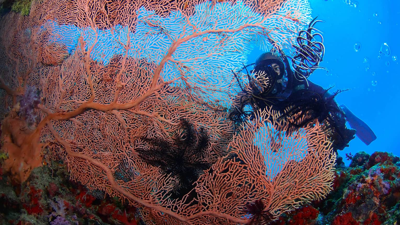 A Scuba diver swims behind large, colourful coral in lagoon