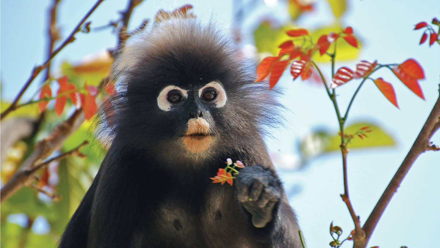 Close-up of dusty leaf monkey with wide eyes, frizzy hair around face