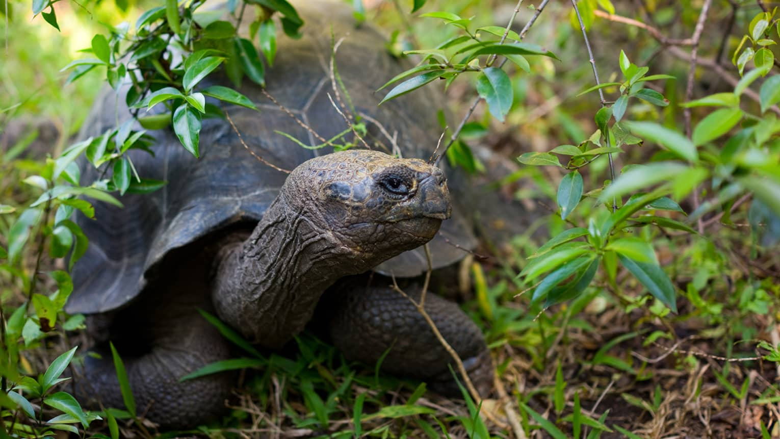 A tortoise relaxes under the shade of green foliage