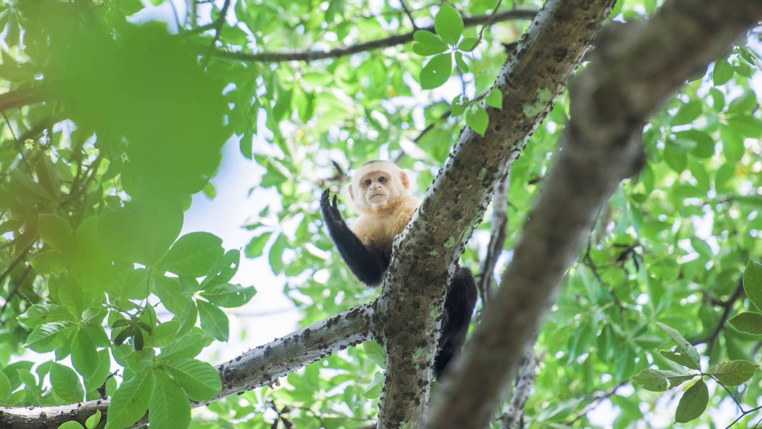 Small monkey peeks out from branch high in tree