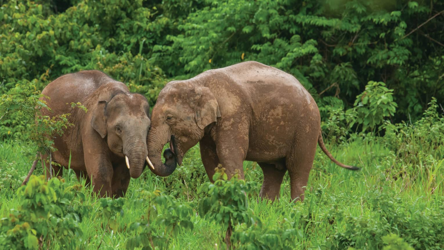 Two elephants nuzzle next to one another in green forest