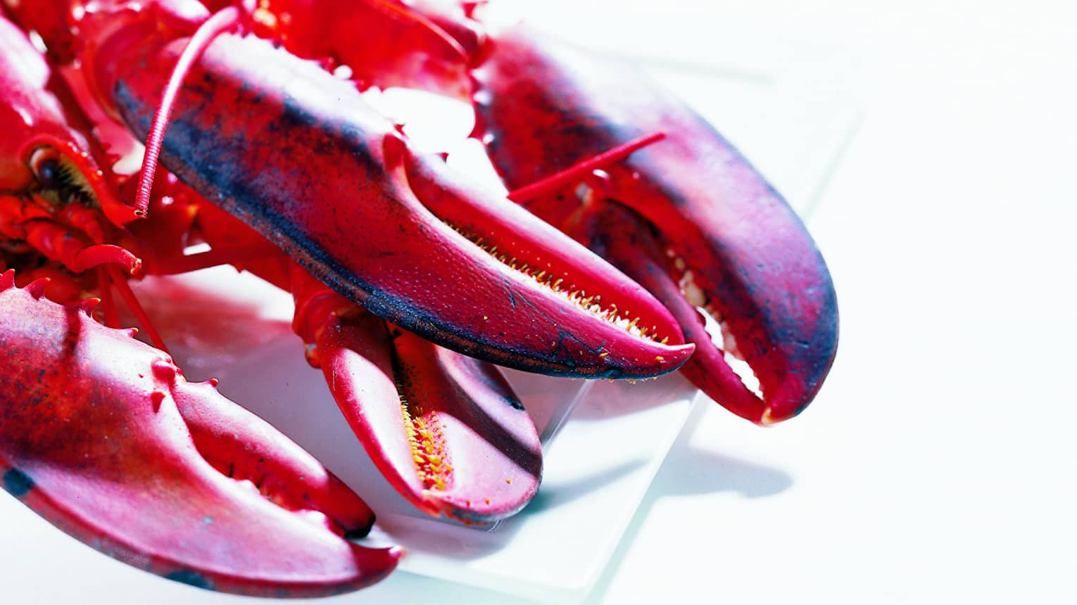 Close-up of red lobsters, claws