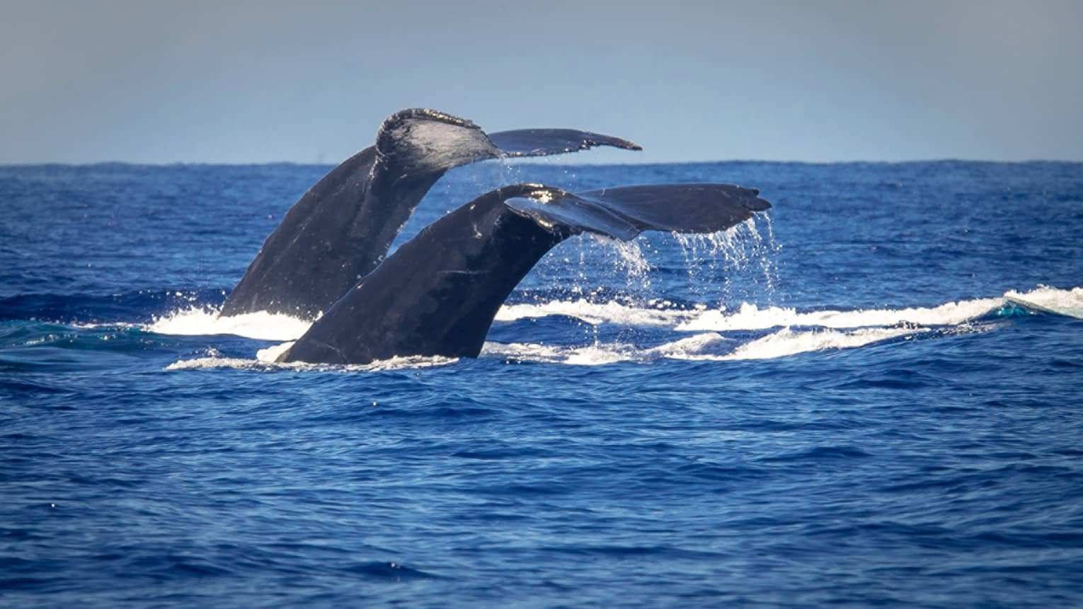 The tail of two North Pacific Humpback whales rise above the blue ocean